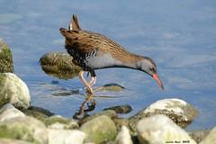 Rascló - Rascón (Enllasez - Enric LLaó) Tags: aves aus bird ocells pájaros rascló rascóneuropeo 2012