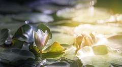 Seerose (Martina Stoltz) Tags: seerose sommer summer summervibes toskana toscana italy italien casanuova nature natur rose instagram instagood