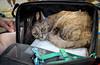 IMG_2438 (kz1000ps) Tags: boston massachusetts bostoncommon common park cats kitties kittens felines caturday purr catcafe brighton humane society adoptions