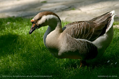 Ada safari goose (srkirad) Tags: animal bird goose domestic travel belgrade beograd serbia srbija adasafari grass green eating sunny spring jupiter manual 37a