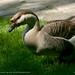 Ada safari goose