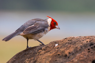 Red-crested Cardinal MK4_5620