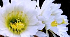 Cactaceae: Echinopsis spachiana (☮ Montse;-))) Tags: cactaceae flor flora cáctus jardínbotánico jardíncanario laspalmas grancanaria erizodemar echinopsis alcaloides antorchadorada botánica echinopsisspachiana nature