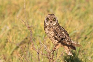 Pueo / Hawaiian Owl / Hawaiian Short-eared Owl (Asio flammeus sandwichensis)
