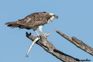 osprey with needlefish
