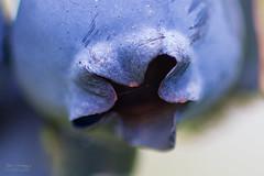 Blueberry (Explored) (Normann Photography) Tags: bjørnemat dof makro smørberggård tønsberg bearfood blue blueberries blueberry bokeh closeup food fruit healthy macro nature nutrition nærbilde purple shallowdepthoffield vestfold norway no americanblueberry abc vitamins