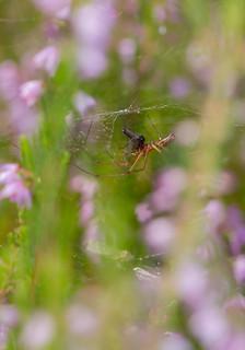 Long-jawed Orbweb spider (Tetragnatha)