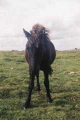 Dartmoor pony 3 (avenwildsmith) Tags: film 35mm nature devon countryside landscape analog analogue kodak retinette 1b grain england britain animal pony black brown wild grass 35mmfilm kodakretinette1b