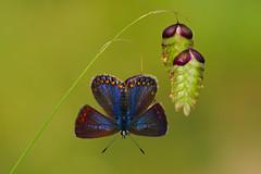 Polyommatus icarus (11) (JoseDelgar) Tags: insecto mariposa 425866688733137 josedelgar thegalaxy coth naturethroughthelens coth5 sunrays5 polyommatusicarus