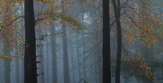 The Upper Canopy (tog@goldenhour) Tags: mist fog autumn fall exmoor forest woodland atmospheric uppercanopy sonya7r toggoldenhour uk nationalpark dawn landscape nature