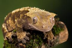 Crested Gecko, CaptiveLight, Ringwood, Hampshire, UK