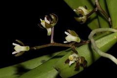 Plectorrhiza tridentata (andreas lambrianides) Tags: plectorrhizatridentata commontangleorchid orchidaceae cleisostomatridentata sarcochilustridentatus thrixspermumtridentatum sarcanthustridentatum saccolabiumcalcaratum cleisostomacornutum australianflora australiannativeplants australianrainforests australianrainforestplants australianrainforestorchids arfp qrfp vrfp arfflowers greenarffs brownarffs australianrainforestflowers lowlandarf uplandarf subtropicalarf