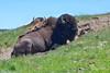 Chewing His Cud (Jim Johnston (OKC)) Tags: buffalo americanbison haydenvalley cud yellowstonepark wyoming