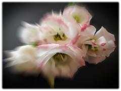 Pink and White HSS (cheltenhamgirl (Yvonne)) Tags: phototoaster photoshop pinkandwhite flowers slidersunday