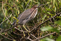 Perching Green Heron on 9-16-2017-3 (Scott Alan McClurg) Tags: animalia ardeidae aves bvirescens butorides chordata neognathae neornithes pelecaniformes animal autumn bird fall life march nature naturephotography outdoors perching photography portrait wetlands wild wildlife
