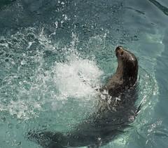 Alaska Zoo Anchorage harbor seal