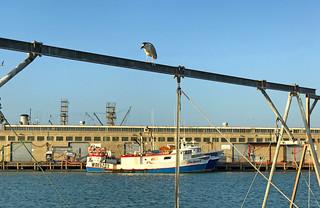 Black-crowned Night Heron at Fishermans Wharf