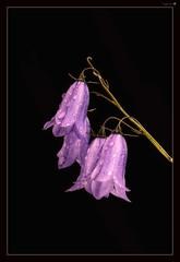 Small Reminders (tiggerpics2010) Tags: campanularotundifolia harebell scotland flower raindrops