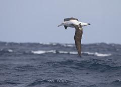 Antipodean Albatross (boombana) Tags: antipodeanalbatross wanderingalbatross albatross 2017 sydney sydneypelagic diomedeaantipodensis diomedea diomedeaantipodensisgibsoni