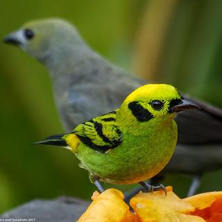 Emerald Tanager (Tangara florida), Costa Rica
