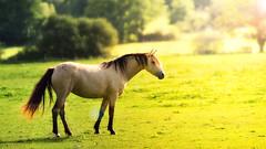 Born to be free (FredConcha) Tags: horse free wild golden sunrise fredconcha nikon d800 70200 f28 france landscape animal nature flare whitehorse
