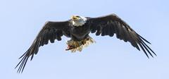 Bald Eagle with fish....6O3A6285CR2A (dklaughman) Tags: baldeagle eagle bird conowingo dam susquehanna river maryland