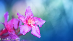 After.... (frederic.gombert) Tags: flower flowers blue pink color drop droplet water rain summer autumn macro nikon light