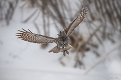On the hunt (Khurram Khan...) Tags: greatgrayowl wildlife wildlifephotography wild wwwkhurramkhanphotocom winter khurramkhan owls birdsofprey flight naturephotography snow birdsphtography naturephotos trees ngc