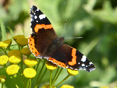Red Admiral - Vanessa atalanta - Rufford Country Park 17Sep17 (kerrydavidtaylor) Tags: lepidoptera nymphalidae butterfly butterflies