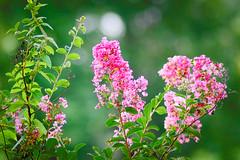 Myrtles (ChristianRock) Tags: pentax ks1 tamron 70300 70300mm f456 456 ld di summer garden nature