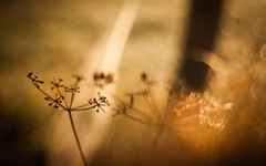 Got lost in a Dream... (ursulamller900) Tags: pentacon2829 seeds golden bokeh morning morgenlicht
