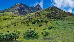 """Wildlife"" in La Gomera (Jörg Bergmann) Tags: 2015 24mm lagomera vegaipala hiking senderismo gomera goats cabras islascanarias canarias camino path mountain lumix nature landscape wildlife fauna"