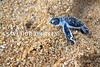 IMG_7667-1(WW) Hatchlings Green turtles (Chelonia mydas), well I know it doesn't look green but that's how it is when it first hatched. (Vince_Adam Photography) Tags: greenturtles cheloniamydas turtleconservation malaysia terengganu cherating turtle tortoise turtlesofmalaysia peninsularmalaysia herp wildlifeofmalaysia naturephotography wildturtles wildtortoises wildmalaysia widllife wildlifephotography seaturtles