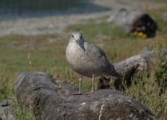 Glaucous-winged Gull (Larus glaucescens) (ekroc101) Tags: birds glaucouswingedgull larusglaucescens bc colwood esquimaltlagoon