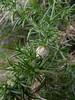 P1030876.jpg (mausboam) Tags: coleoptera dunwichheath fabacae plantgall stenopterapionscutellare ulex ulexgallii westerngorse