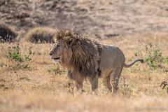 20170918 - Tanzania (1180 von 1444).jpg (Jan Balgemann) Tags: big five bigfive tanzania afrika animals serengeti wildlife