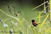 Red-backed Fairy-wren medium (ʘwl) Tags: redbacked fairywren bird male qld queensland wren canon eos australia wildlife 5d mark iv 500mm f4