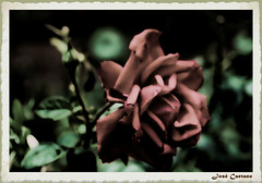 IMG_3839_Rose (Ajax_pt/Zecaetano) Tags: roses rosas canon7d tamron90 macro