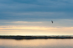An Arctic skua passing by (leffi333) Tags: dønna helgeland norway