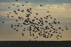 Small Murmuration (Flipped Out) Tags: chicago lakefront lakemichigan fullertonesplanade starlings starlingformation murmuration