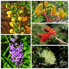 Flowers of Australia (1) (Kat-i) Tags: blumen flowers australien westernaustralia natur nature nikon1v1 kati katharina 2017