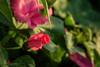 DSC_2836_ (sir.yoga) Tags: flowers easternsiberia russia bratsk