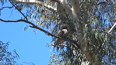 Tawny Frogmouth - female (RJNumbat) Tags: tawny frogmouth female
