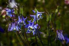 "magnificent blue aquilegia (columbine) flowers and seed pods grace a Potterton garden, Aberdeenshire, Scotland (grumpybaldprof) Tags: aquilegia columbine ""granny'sbonnet"" ""cardiogenictoxins"" ""fineart"" detail light shadow ""seedpods"" seeds ""flowerheads"" brown ""goldenbrown"" eagle ""coloradobluecolumbine"" blue fineart flower sun contrast garden flowers promise potterton aberdeenshire scotland colours bud stem green elegance beauty texture plant petals petal floral sheen veins intensity hue vibrancy shape leaf colour flora striking brilliance hairs macro stack dof ""multiplefocuspoints"" ""depthoffield"" details ""detailsoflife"" ""depthoffieldstacking"" canon 7d ""canon7d"" 100 100mm f28 ""isusm"" ""canonef100mmf28lmacroisusm"" evening summer mood seedpods"