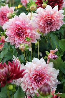 Queens of September Garden / Kraljice baste u septembru