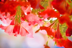 LADIES IN RED (Irene2727) Tags: red pink colors shadesofred bokeh flowers flora floral nature outdoor coth5