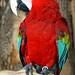 DSC09785 - Green-winged Macaw