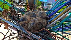 few weeks later....... (Jinky Dabon) Tags: fujifilmfinepixhs35exr youngchicks chicks babybirds birds pigeons feathers talons eggs birdkingdom httpswwwtescomteachingresourcebirdsthemedpack11478170 wwwtescom