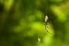 女郎蜘蛛2 - Joro Spider 2 (burak.maasoglu) Tags: spider yellow red spiderweb joro jorospider japan kagoshima senganen green 鹿児島 女郎 女郎蜘蛛 蜘蛛 蜘蛛糸 仙厳園 赤い 黄色 緑