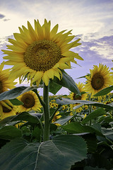 _LCH6811 kansas sunflowers (snolic...linda) Tags: kansas lawrencekansas sunflowers sunrise